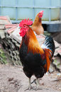 Rooster beuty on the farm Royalty Free Stock Image