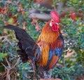 Rooster bird beautiful