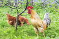 Rooster and chicken walking on green grass on the farm in the summer Royalty Free Stock Photo