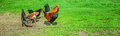 Rooster and chickens beautiful on background of green grass Stock Images