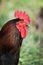 Rooster close up of in the meadow Royalty Free Stock Photo