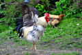 Rooster (Cock) with Wings Spread Royalty Free Stock Photo