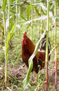 Rooster in Cornfield Royalty Free Stock Photo