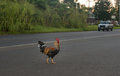 Rooster Crossing The Road With...