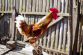 Rooster crowing against an wooden fence Royalty Free Stock Photo