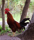 Rooster crows Royalty Free Stock Photo