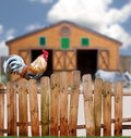 Rooster on fence a large a around a barnyard with a small cow Royalty Free Stock Image