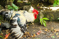 Black and White Rooster flapping Royalty Free Stock Photo