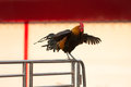 Rooster is flapping and crowing on the aluminum fence Stock Images