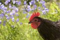 Rooster  with flowers Royalty Free Stock Photo