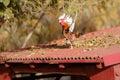 Rooster flying chicken vertebrate chicken white domesticus cockerel wings brahma cut bird Stock Photo
