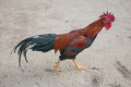 Rooster a free range american brown leghorn Royalty Free Stock Image