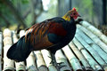 Rooster Royalty Free Stock Photo