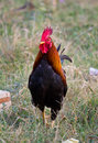 Rooster in grassy a free range looking for food a Royalty Free Stock Photo