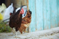 Rooster and hen in hennery horizontal photo Stock Photography