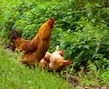 Rooster with hens brown walking chickens Royalty Free Stock Image