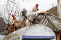 Rooster and hens climbed to the roof of shed Stock Photos