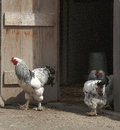 Rooster and hens flirting in the country Royalty Free Stock Photo