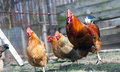 Rooster and hens Royalty Free Stock Photo