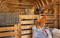 Rooster and Hens inside Wooden Barn Stock Images