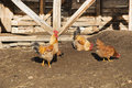 Rooster and hens in rural barn yard Stock Photography