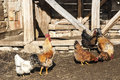 Rooster and hens in rural barn yard Royalty Free Stock Photo