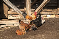 Rooster and hens in rural barn yard Stock Images