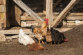 Rooster and hens in rural barn yard Stock Image