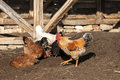 Rooster and hens in rural barn yard Stock Photo