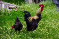 Rooster and hens in the yard Royalty Free Stock Photo