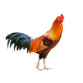Rooster isolated on white background a Stock Images