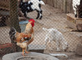 Rooster and other domestic animals Royalty Free Stock Photos