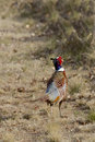 Rooster pheasant a colorful walking away through a field Royalty Free Stock Photo