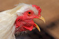 Rooster sing in chicken coop Royalty Free Stock Image