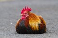 Rooster Sitting on the Ground Stock Images