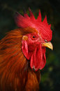 Rooster on traditional free range poultry farming Royalty Free Stock Images