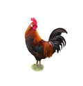 Rooster on white background colorful american brown leghorn Stock Photos