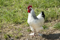 Rooster with white and black feathers beautiful free roaming walking around the farmyard Royalty Free Stock Images