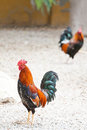 Roosters or cockerels in a yard Stock Photo