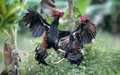 Roosters fight Royalty Free Stock Photo