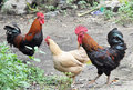 Roosters and hen  Stock Images