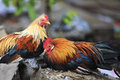 Roosters portrait of two perching on cement bocks southern vietnam Stock Photo