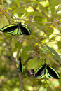 Roosting Butterflies Royalty Free Stock Images