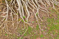 The root of a big tree Royalty Free Stock Photos