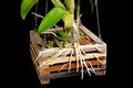 Root closeup fresh of orchid on wooden grid Stock Photography