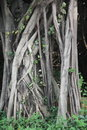 The root of the complex roots banyan tree is very rich it is always intertwined Royalty Free Stock Images