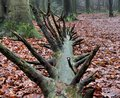 Root of fallen tree Royalty Free Stock Photo