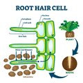 Root hair cell collecting mineral nutrients and water from soil, biological labeled plant system diagram Royalty Free Stock Photo