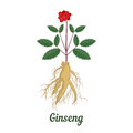 Root and leaves panax ginseng.
