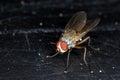 Root Maggot Fly Royalty Free Stock Photo
